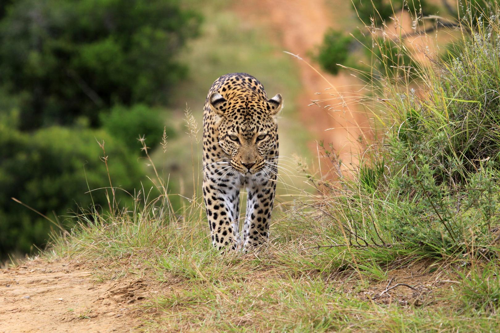 Auf der pirsch in Südafrika