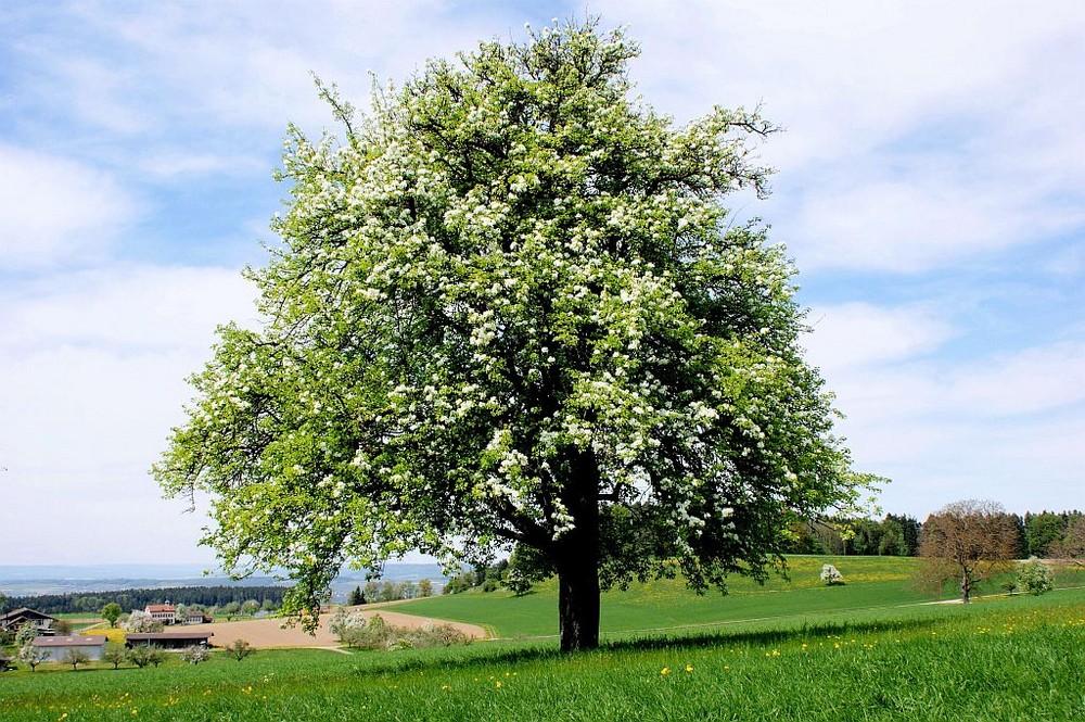 Auf der Wiese beginnt der Birnenbaum zu blühen. Foto