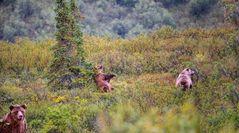 Auf diese drei Grizzlys stießen wir im Denali Nationalpark in Alaska..