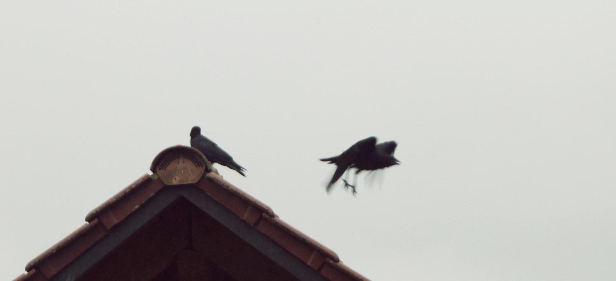 Auf einem Dach ein Rabe stolz