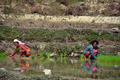 Auf einem Reisfeld in Bungkot