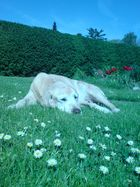 Auf einer schönen grünen Wiese liegt ein großer ...