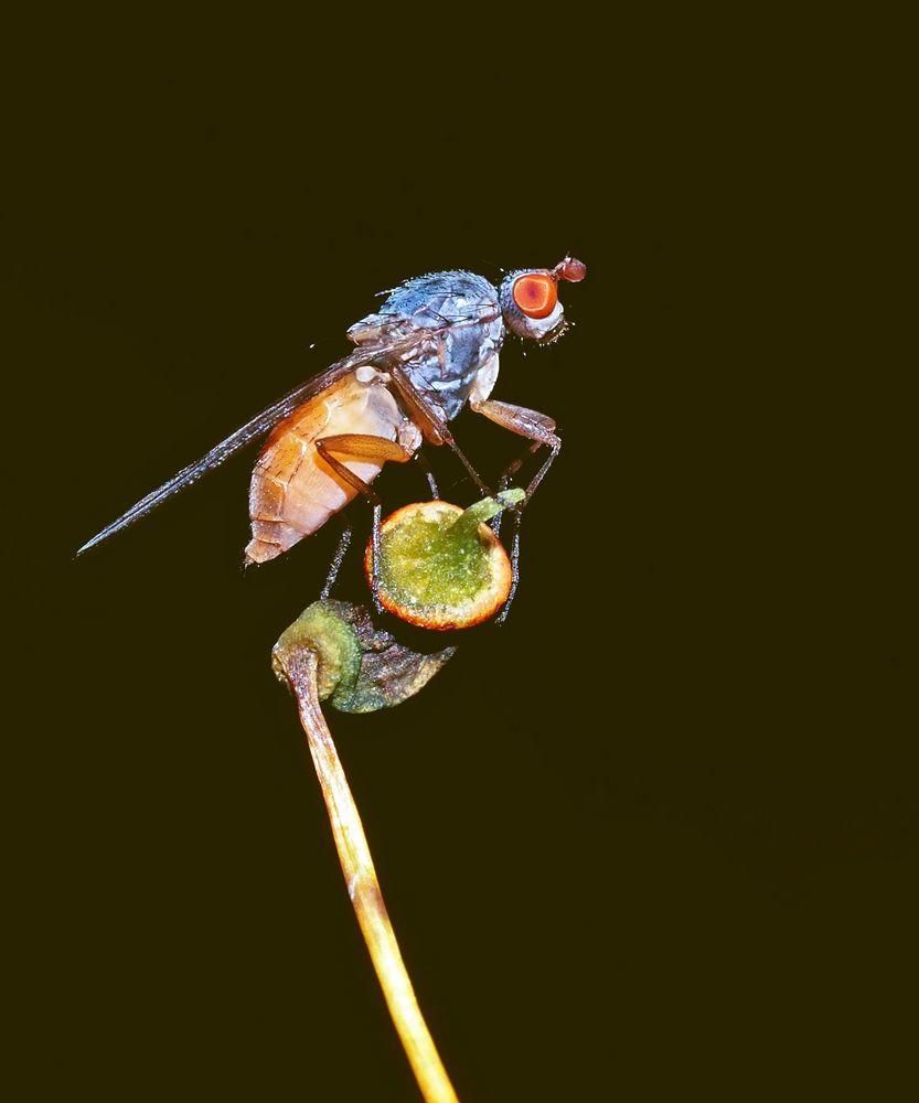 Auf einer Sporenkapsel geniesst sie die Aussicht! * - Une mouche s'installe sur une urne à spores!