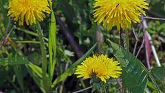 Auf jeder Blüte sitzt ein Insekt wobei die linke oben nicht in der Schärfe liegt...