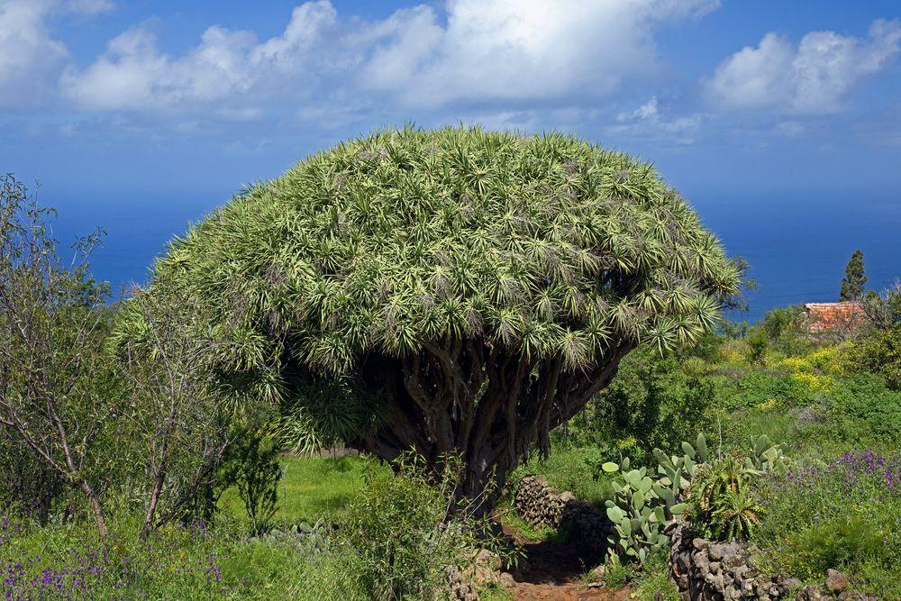 auf kirschbäumen wachsen kirschen und auf drachenbäumen ..