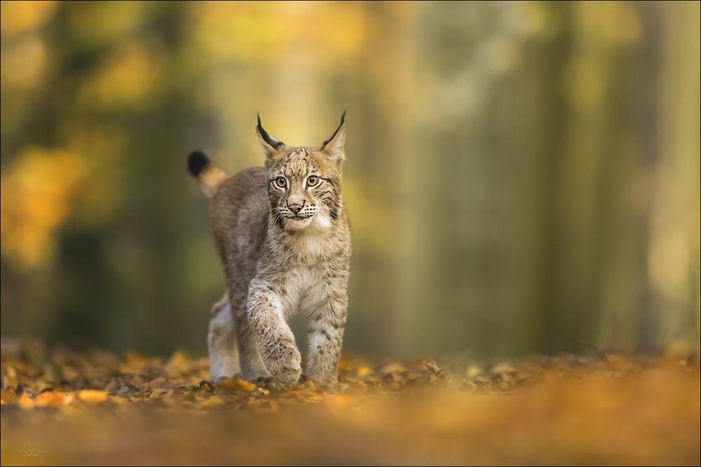 Auf leisen Tatzen durch den Wald...