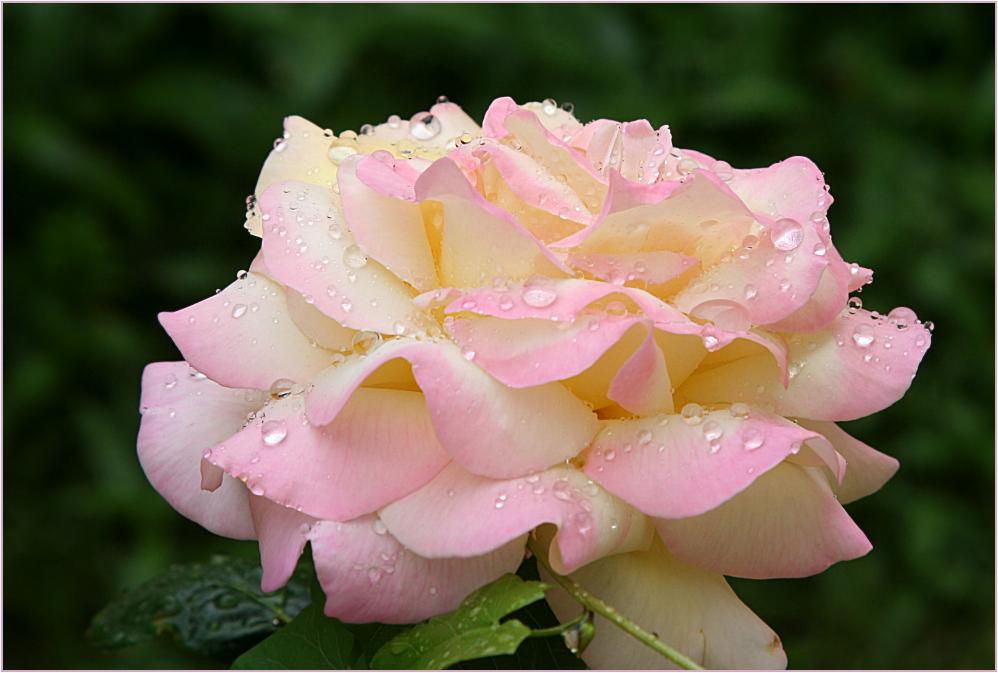 auf Rosen fallen.........