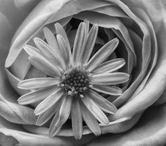 Auf Rosen gebettet. (MiWoBlü spezial)