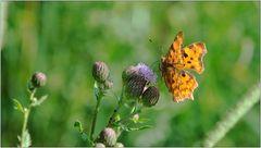 ... auf Schmetterlingsjagd ...