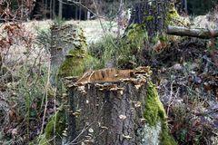 auf über 20 Baumstöcken in einer Rodung wachsen sie wie wild