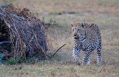 auf zum Leopardentreffen