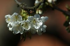 Aufbruch der Kirschblüten