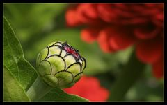 Aufbruch ... - Open up of a bud with flowers in the background