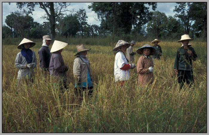 Aufbruch zur Reis-Ernte