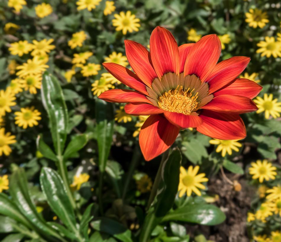 Aufgeblühte Blume - eine meiner kleinen Balkonschönheiten!