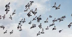 Aufgescheuchte Tauben!