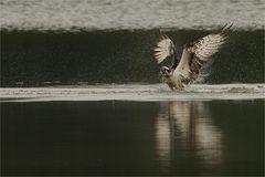 Aufgetaucht - Der Fischadler