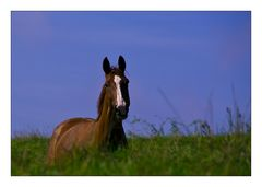 Aufmerksam schauendes Pferd auf grüner Wiese vor blauem Himmel mit rosa Wölkchen