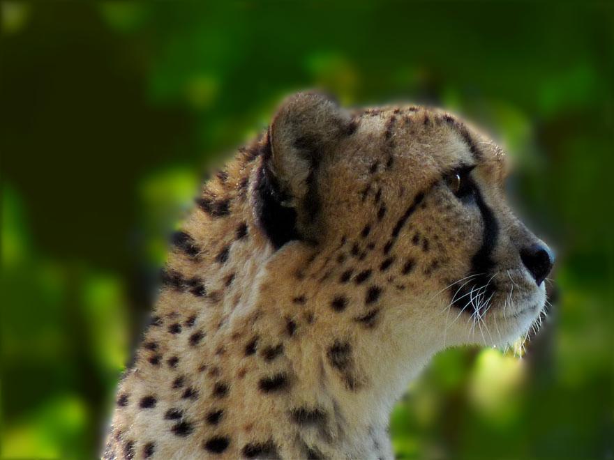 Aufmerksamer Gepard