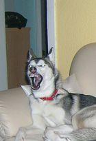 Aufpassen gefährlicher Hund