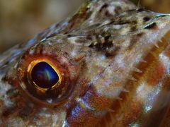 Auge Eidechsenfisch