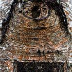 Auge eines Baums