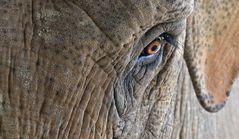 Auge eines Elefanten