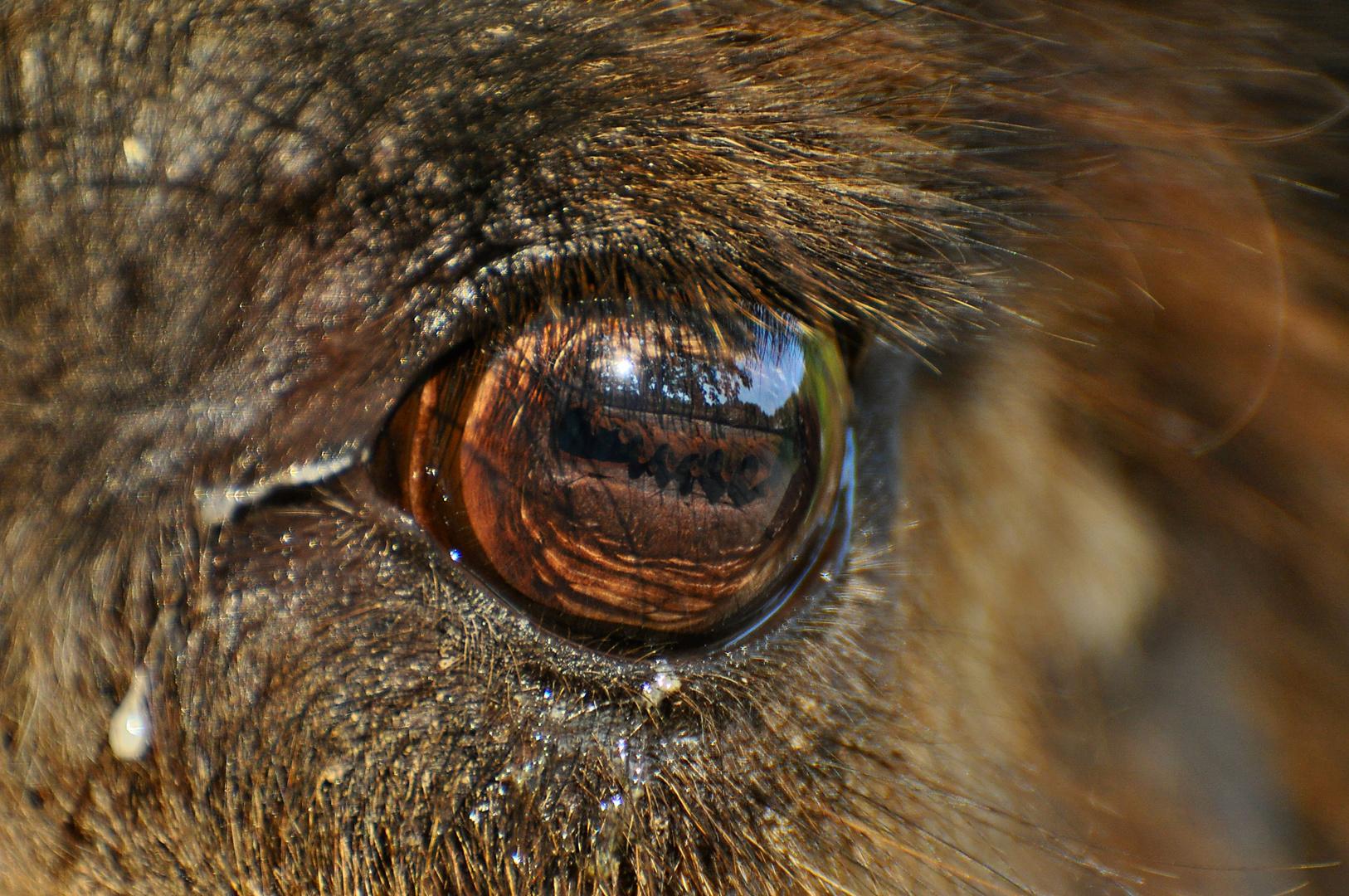 Auge eines Kamels