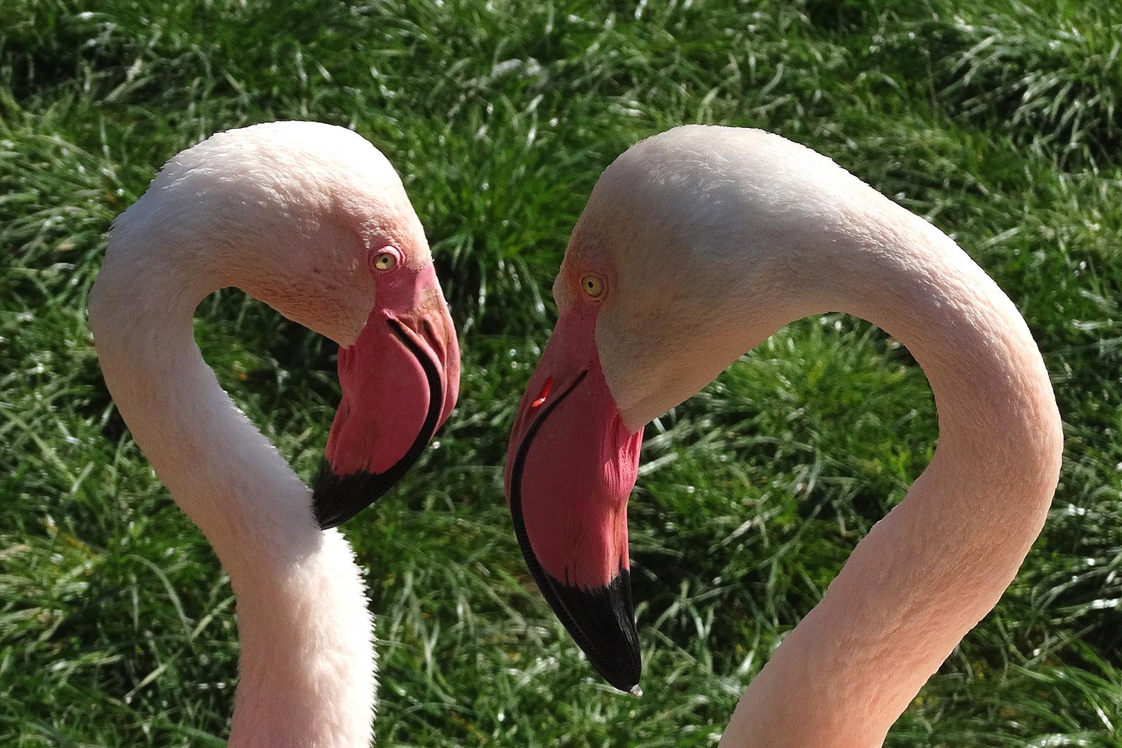 Auge in Auge (Flamingos im Zoo Neuwied)