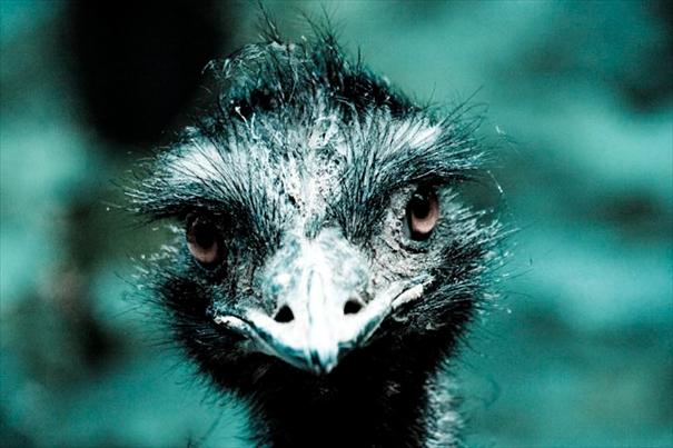 Auge in Auge mit dem Emu