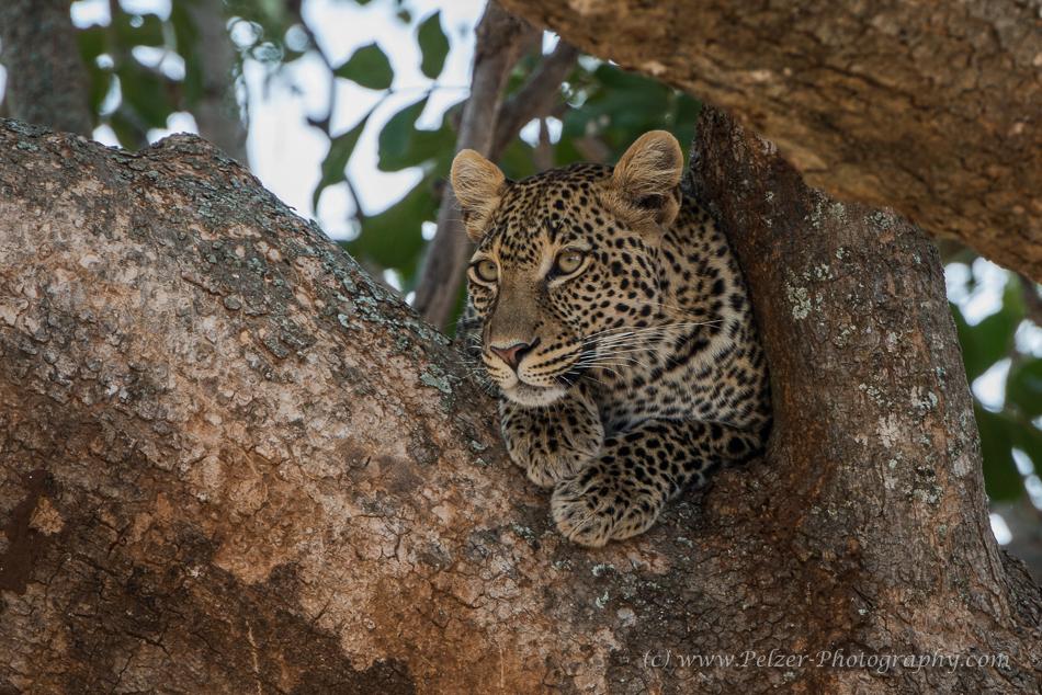 Auge in Auge mit dem Leopard ....