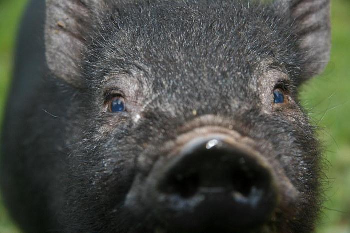Auge in Auge mit dem Schwein
