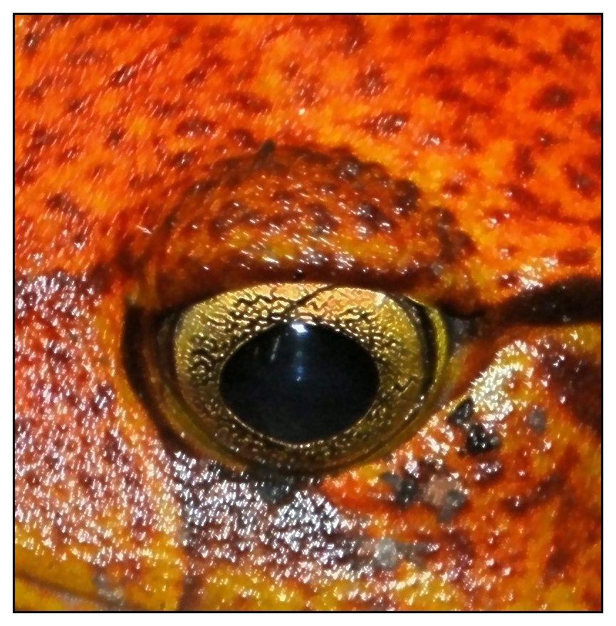 Auge vom Madagaskar Engmaulfrosch ...
