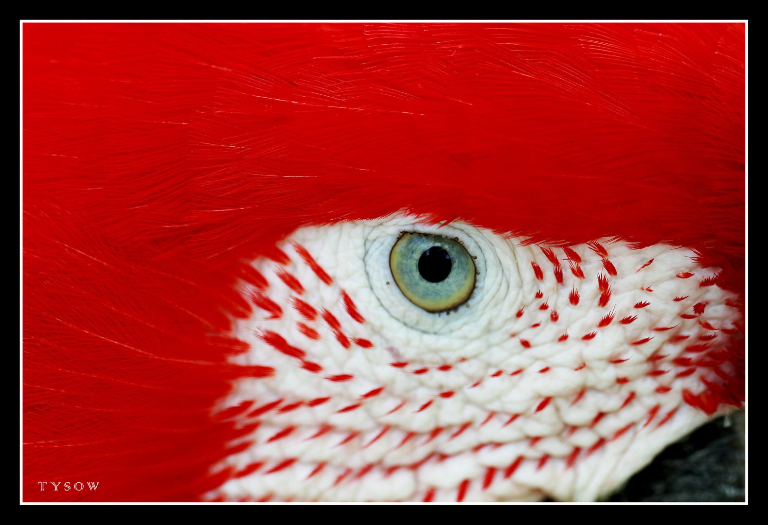 Auge vom roten Ara