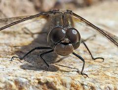 Augen - Blick mit einer Grossen Heidelibelle (Sympetrum striolatum) *