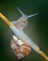 Augen-Blick mit einer Weinbergschnecke (Helix pomatia)! - L'escargot de Bourgogne vous salue.