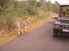 Augen rechts! - Zebra (Krüger Nationalpark)