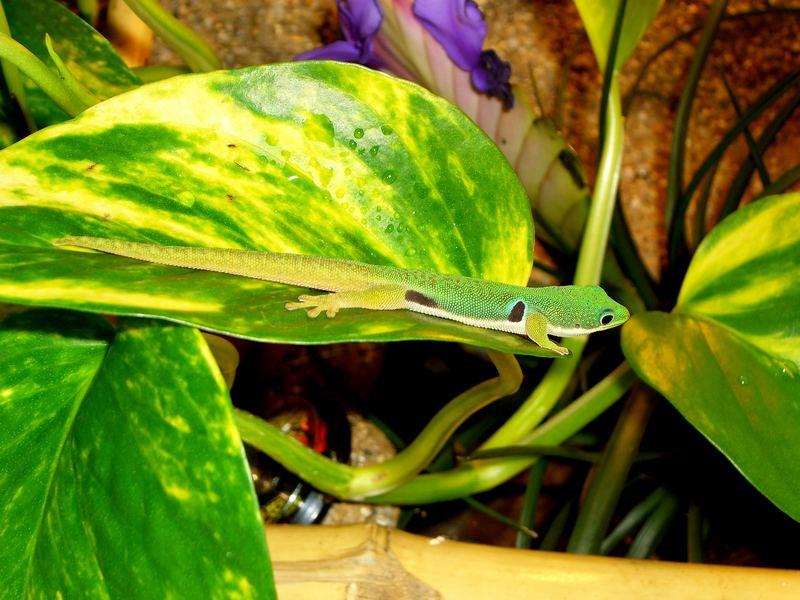 Augenfleckentaggecko