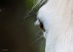 Augenring