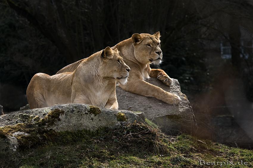 Augsburger Löwenmädels...