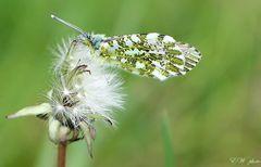 ~ Aurora-Falter-Männchen (Anthocaris cardamines) ~
