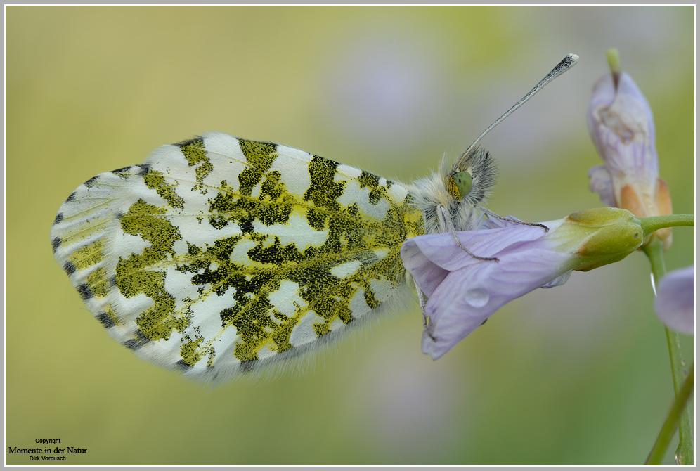 Aurorafalter (Anthocaris cardamines), weibchen