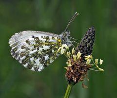 Aurorafalter (Anthocharis cardamines)* --- Un papillon qui se repose!