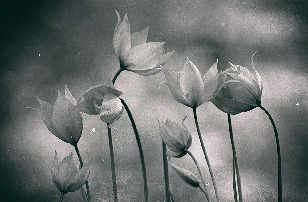 Aus dem Leben wilder Tulpen