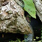 Aus dem Teich kam die Ringelnatter vor ein paar Wochen.