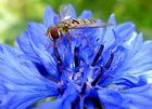 Aus der Kornblume mit Strohhalm saufen macht : blau