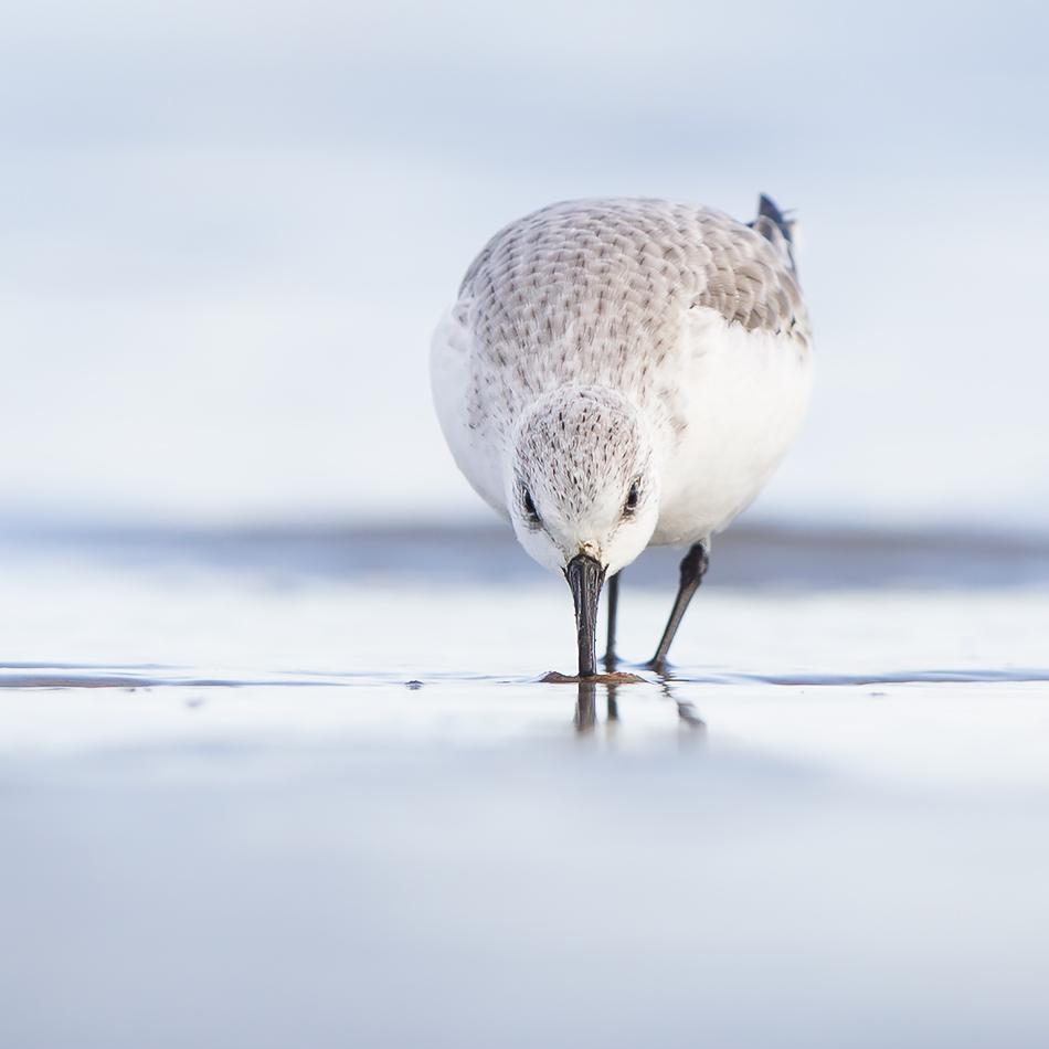 aus der Sicht eines Sanderlings