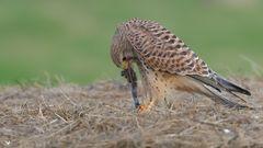 Aus die Maus ... dieses Turmfalken Weibchen (Falco tinnunculus) ...