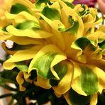 aus meinem Strauß Ranunkeln in dem jede Blüte anders ist als die Andere