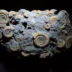 Aus meiner Sammlung: Ammoniten-Konglomerat